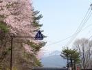 咲きました♪ 山の桜が見頃です