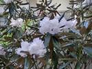 季節の花をたずねて~シャクナゲ