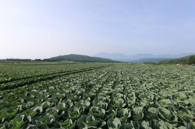 広大なキャベツ畑